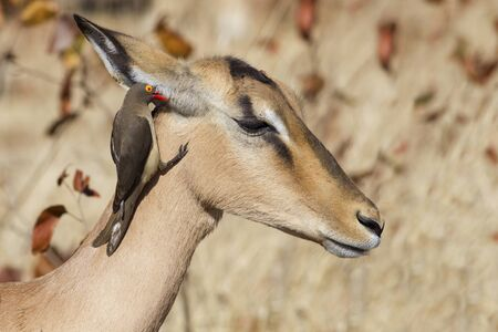 oxpecker: Two profiles - Red-billed oxpecker and impala Stock Photo
