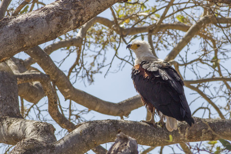 african fishing eagle photo