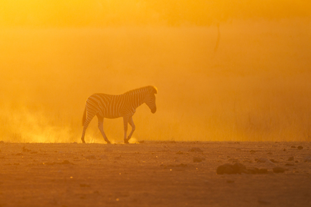 burchell: Burning sunset - Burchell \ s Zebra Stock Photo