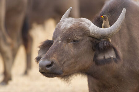 oxpecker: African Buffalo and Red-billed oxpecker Stock Photo