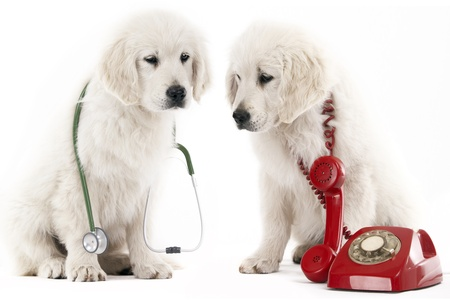2 golden retriever puppy with a red phone and a stethoscope Stock Photo