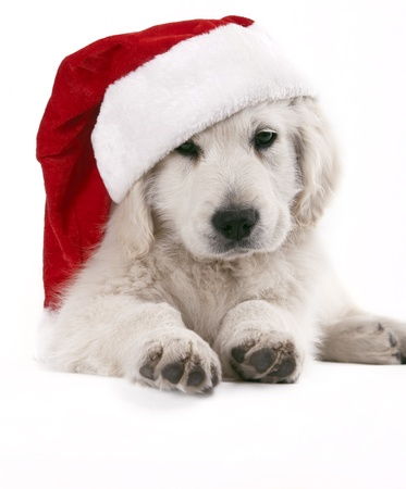 golden retriever pup with santa hat Stock Photo