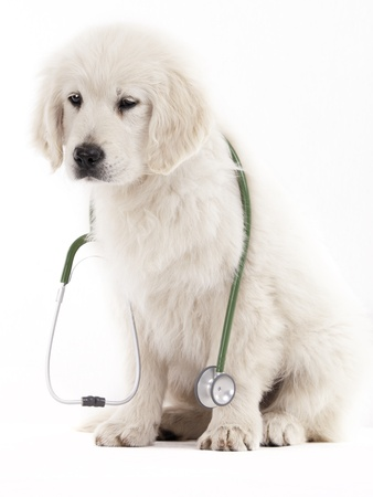 golden retriever puppy holding a stethoscope on a white background Stock Photo