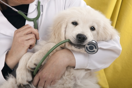 veterinary care: golden retriever puppy playing with a stethoscope vet