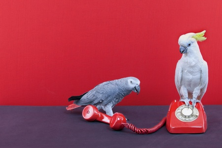 a cockatoo and a parrot talking on a red phone Stock Photo