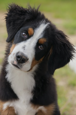 cocked: beautiful Bernese Mountain Dog puppy looking at camera, head cocked Stock Photo