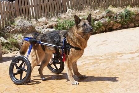 German Shepherd in wheelchair enjoying a swim Stock Photo