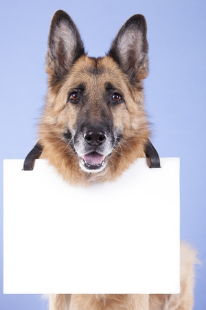 german shepherd looking attentive, with a blank banner hung on the neck  On a blue background