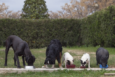 group of 4 dogs and a Vietnamese pig, eating together, photo taken outside Stock Photo
