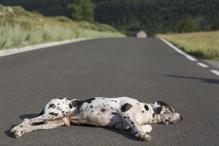great dane harlequin: Abandoned homeless stray dog sleeping on the street, harlequin Great Dane dog breed Stock Photo