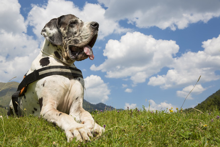 great dane harlequin: harlequin great dane lying on the field, and summer freedom