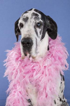 great dane harlequin: harlequin female Great Dane sitting head shot isolated on blue background. One eye of each color, blue and brown