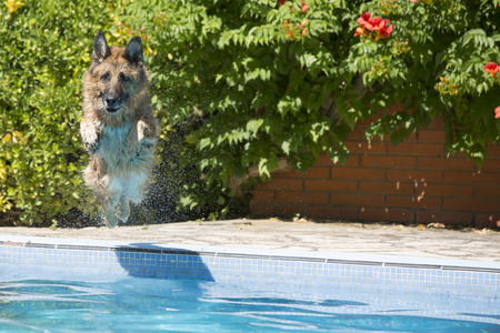affectionate action: German Shepherd dog jumping into the swimming in the pool. looking at camera Stock Photo