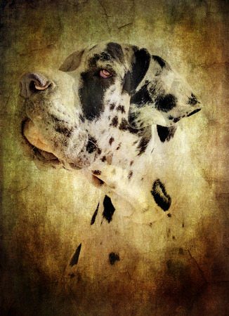great dane harlequin: picture of a great dane or dogue alleman simulating an old painting