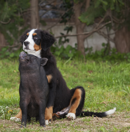porker: Bernese puppy and puppy Vietnamese pig sitting in front of the camera, looking up. friendship between two different species Stock Photo