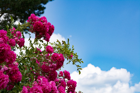 showy: Bush od red roses flowers on blue sky background. Blooming roses bush close up.