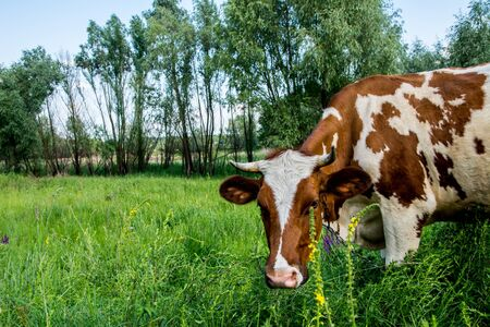 beast ranch: Cow on a meadow in the grass close-up portrait. Summer picture of a grazing cow