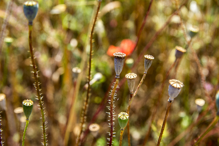 xwhite: Wild poppies heads, few red flower of popies and other plants in summer field close up. Nature.