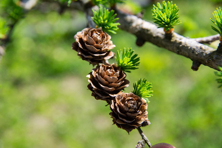 European Larch tree (Larix decidua) cones on a branch with needles in spring. Beautiful Larch cones and branch Imagens