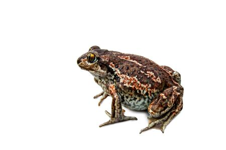 A brown frog sits. Anuran isolated on white background close-up image.