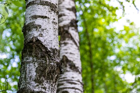 trunks of birch trees in the forest close-up. against the background of blurry green trees. Stok Fotoğraf