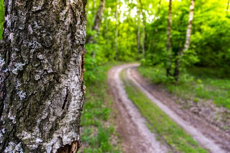 trunk of birch tree in the forest. blurry forest road and green trees and grass on background. Stok Fotoğraf