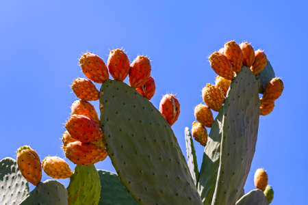 Opuntia ficus-indica, the prickly pear