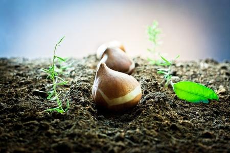 winter planting of bulbs for spring flowering tulips 写真素材