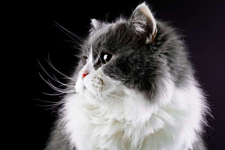 Persian cat Stock Photo - 12677374