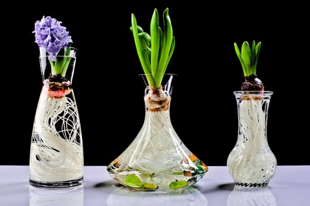 bulb and stem vegetables: Root growth of a bulb in water