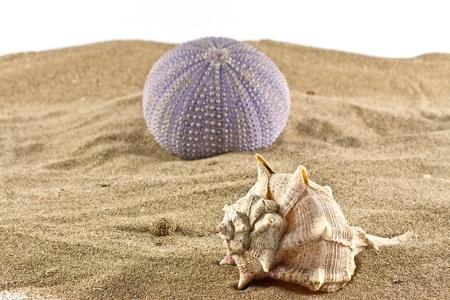 pilluelo: de erizo de mar y conchas