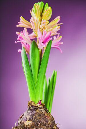 raíz de planta: rosa jacinto