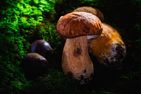 porcini: porcini mushroom