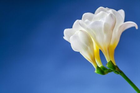 carpel: white daffodils abstract
