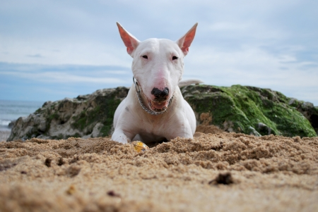 bul:  white Bull Terrier