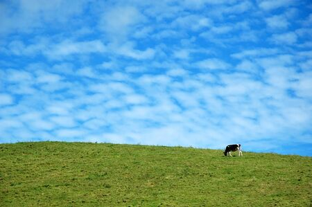 agriculture azores: A cow eating grass with a blue sky behind in Azores, Portugal