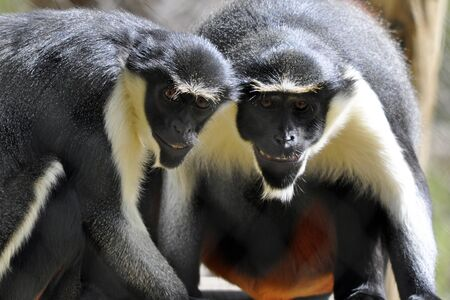 diana: Two Diana monkeys (Cercopithecus diana) that appear to be smiling.