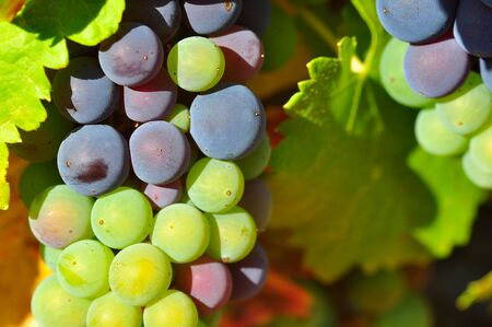 Violet and green wine grapes in a vineyard, low depth of field photo