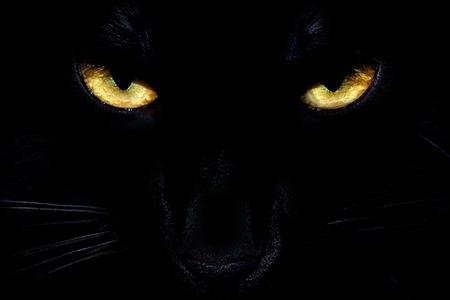 Salvajes ojos de gato negro que sale de la oscuridad