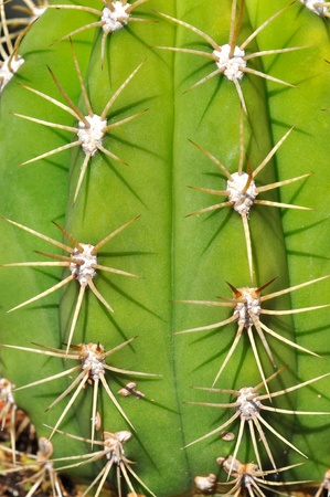 Close up of a cactus with big spykes photo