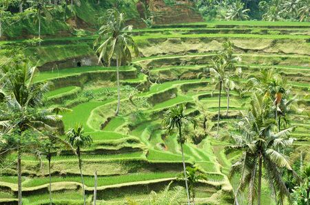 Rice terraces in Bali, Indonesia photo