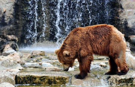 Brown bear (Ursus arctos) is a large bear distributed across much of northern Eurasia and North America. Stock Photo
