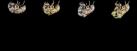 蝉の出現-01 (蝉) 写真素材
