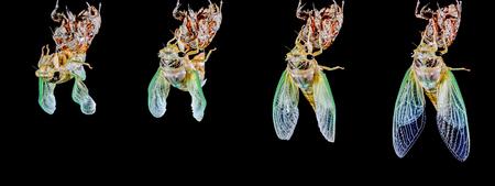 Cicada emergence-03 (매미) 스톡 콘텐츠 - 77148920