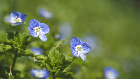 Blue flower Veronica persicv
