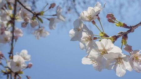 Cherry blossom < Sakura > Stock Photo