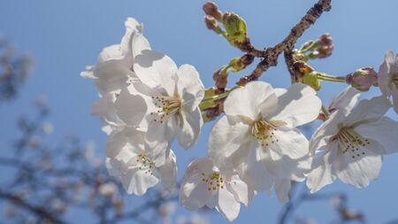 Flor de cerezo <Sakura> Foto de archivo