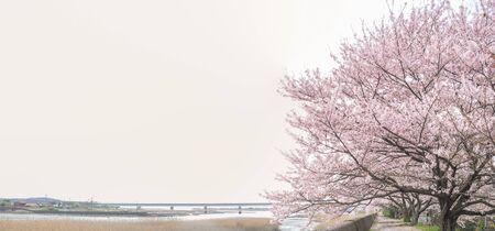 Flor de cerejeira <Sakura> Foto de archivo