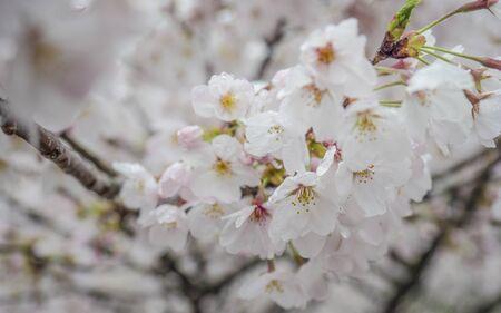 Cherry blossom < Sakura > Foto de archivo