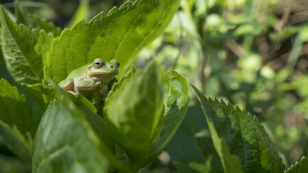 Green frog sit on the leaf